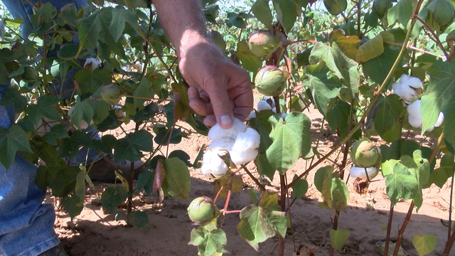 New cotton seed protecting Kansas farmers from weed killer