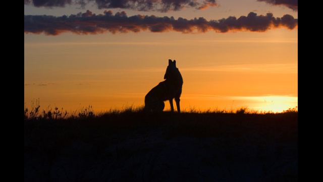 Coyote Sightings on the Rise in Wichita Falls