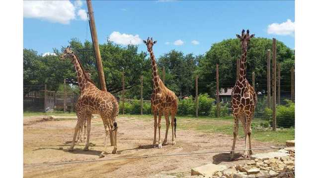 Giraffe Pregnancies Triple the Fun at the Abilene Zoo