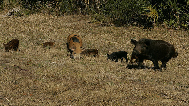 The Wild Boar Business is Booming in Texas