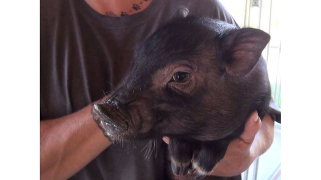 WV Animal Shelter Looking for Homes for Dozens of Potbellied Pigs