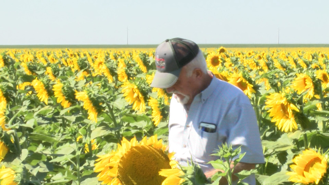 Sunflowers Thrive On The South Plains
