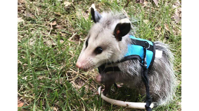 Family Looking For Pet Possum Missing in Benton, Arkansas