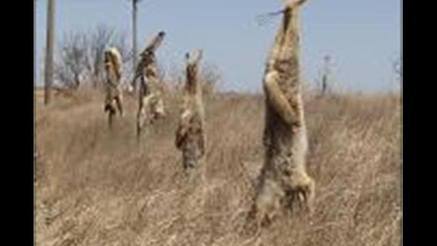 Dead Coyotes Hanging on Fence Posts