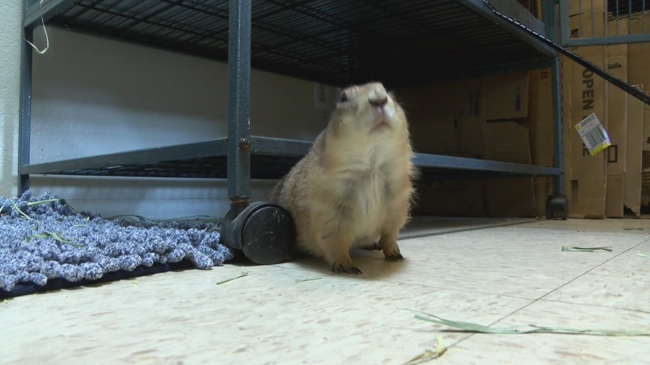 Local Woman Rescues Pet Prairie Dogs Has 19 Total